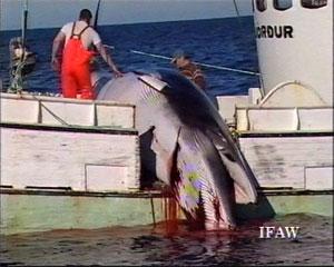 Chasse à la baleine: la CBI propose des quotas commerciaux stricts