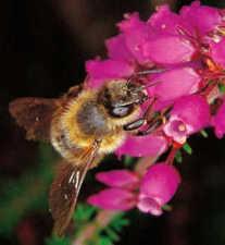 abeillebruyere